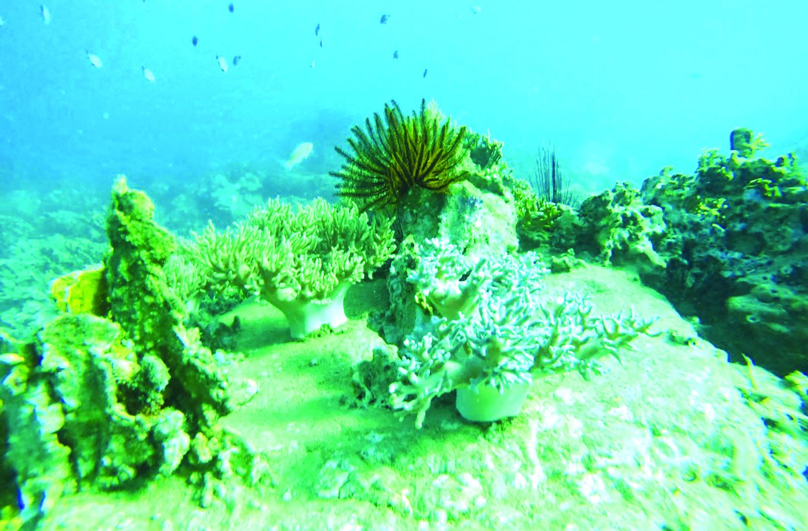 Rạn san hô khu vực Hòn Mun, vịnh Nha Trang. Ảnh: Ban Quản lý vịnh Nha Trang